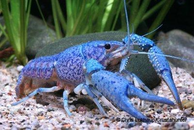 Procambarus alleni - Blauer Floridakrebs 3