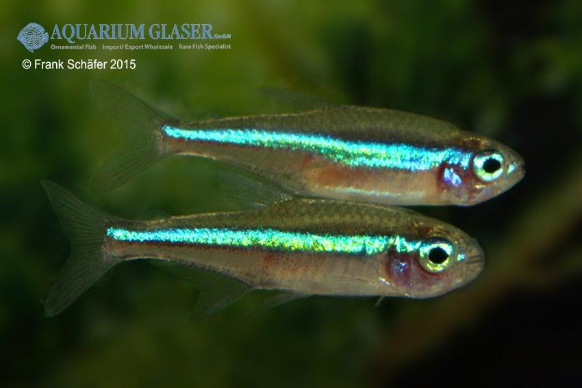 Paracheirodon simulans - Blauer Neon 2
