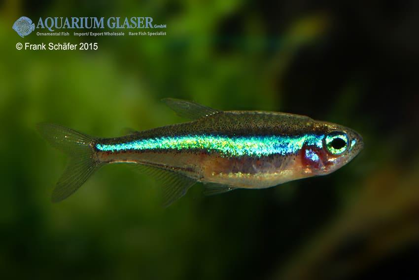 Paracheirodon simulans - Blauer Neon 3