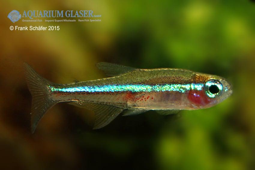 Paracheirodon simulans - Blauer Neon 4