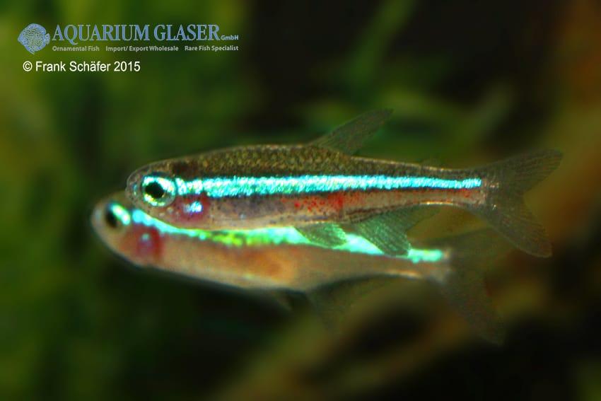 Paracheirodon simulans - Blauer Neon 6