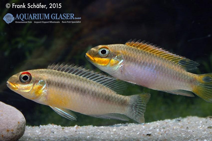 Pelvicachromis taeniatus Bipindi 14