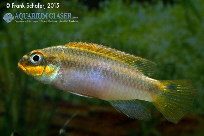 Pelvicachromis taeniatus Bipindi 13