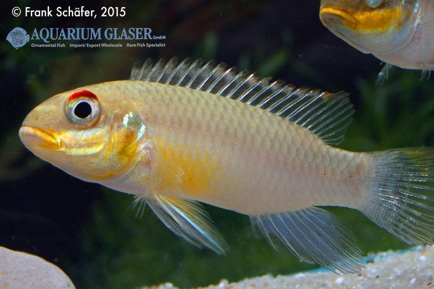 Pelvicachromis taeniatus Bipindi 12