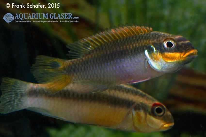 Pelvicachromis taeniatus Bipindi 15