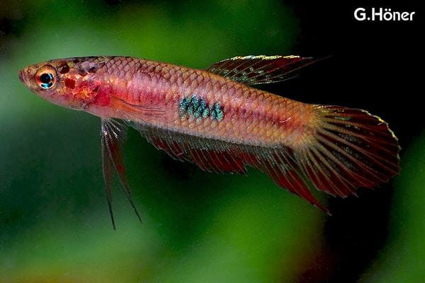 Betta coccina - Roter Kampffisch 1