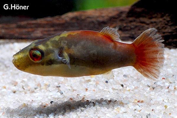 Carinotetraodon lorteti - Kammkugelfisch 1