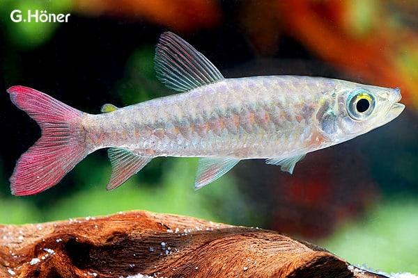 Chalceus macrolepidotus - Südamerikanischer Großschuppensalmler 1