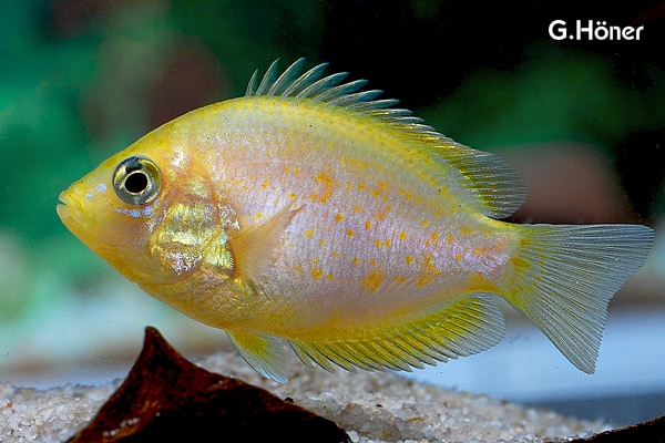 "Etroplus maculatus var. ""Orange Chromide"" - Indischer Buntbarsch, Goldform 1"