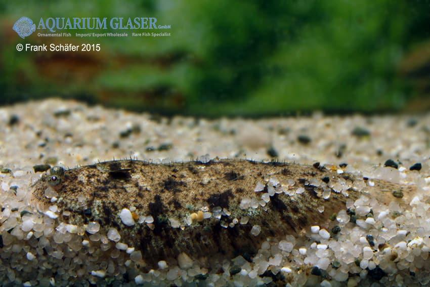 Euryglossa panoides indische s wasser zunge my fish - Glaser dekorieren mit sand ...