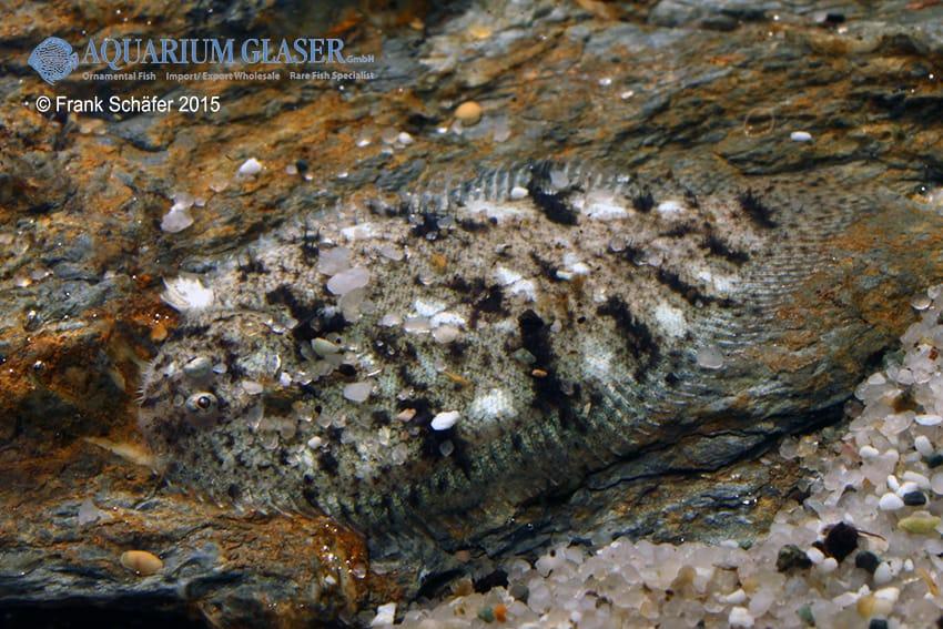 Euryglossa panoides - Indische Süßwasser-Zunge 8