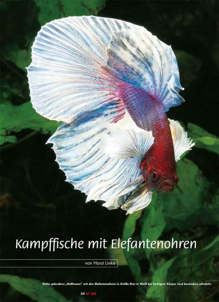 Kampffische mit elefantenohren my fish for Kampffische arten