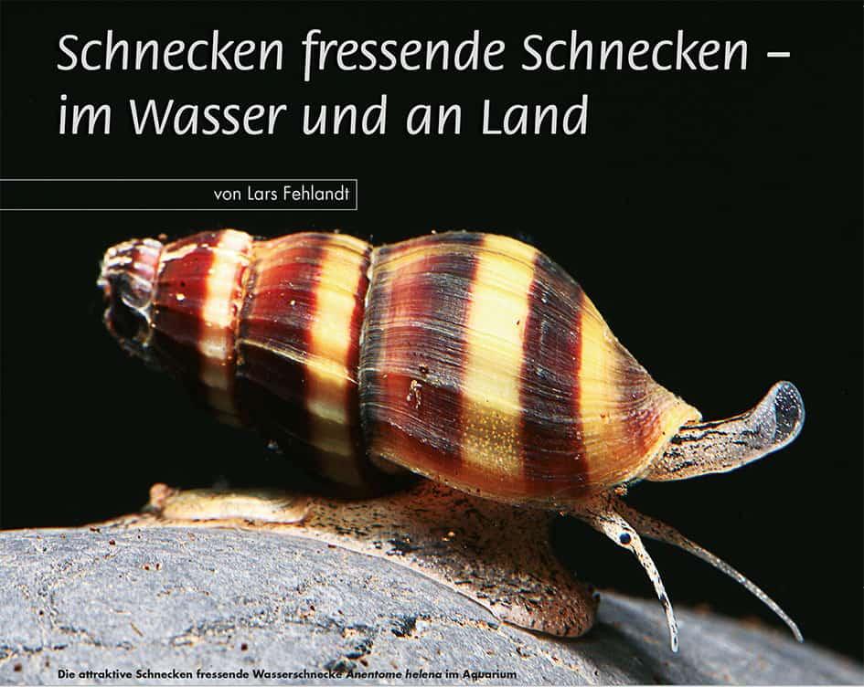 Die attraktive Schnecken fressende Wasserschnecke Anentome helena im Aquarium