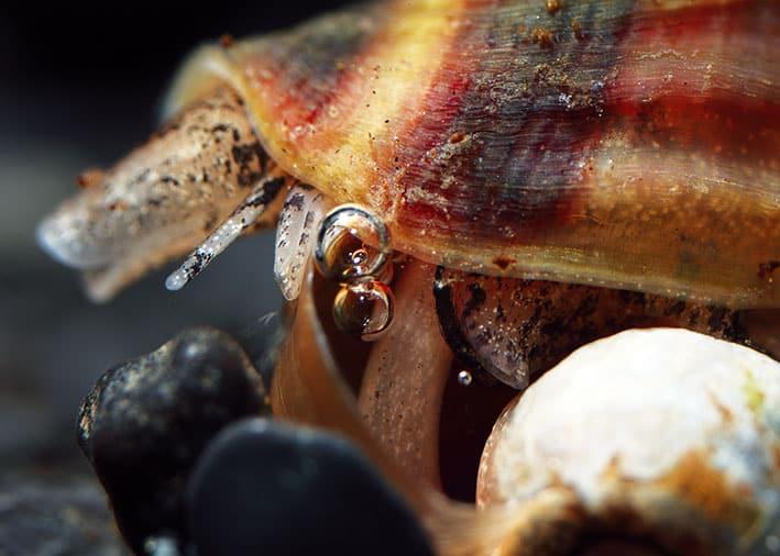 Der Rüssel (Proboscis) dient Anentome dem Eindringen in das Gehäuse ihrer Opfer