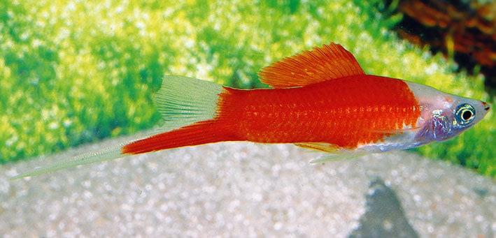 "Xiphophorus hellerii ""Marlboro"""