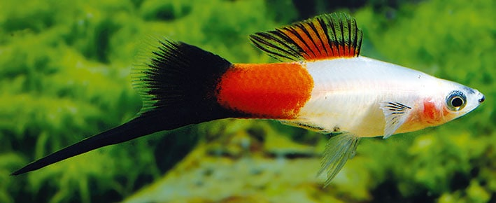 "Xiphophorus hellerii ""Marlboro Wagtail"""