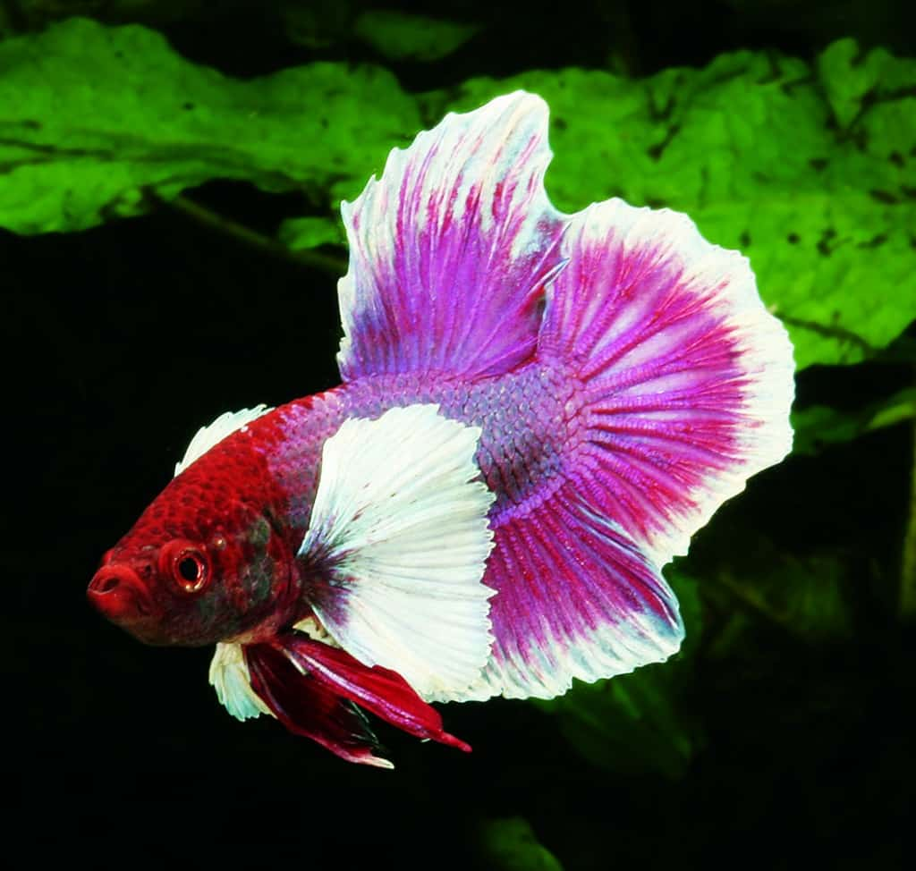 Kampffische mit elefantenohren my fish for Kampffisch betta
