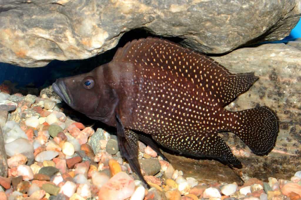 Altolamprologus calvus - Perlhuhncichlide 4
