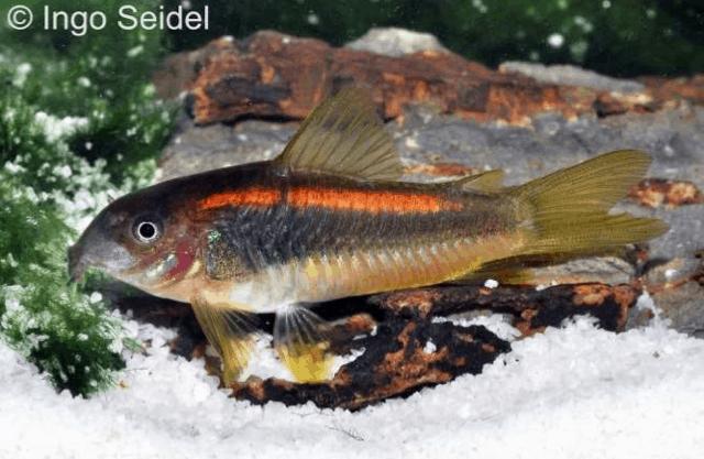Corydoras sp. CW010 - Orangelinien-Metallpanzerwels 3