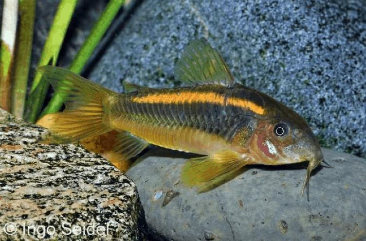 Corydoras sp. CW010 - Orangelinien-Metallpanzerwels 5