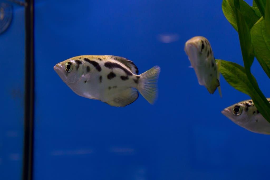 Gruppe Schützenfische