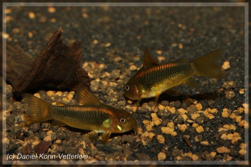 Corydoras sp. CW010 - Orangelinien-Metallpanzerwels 1