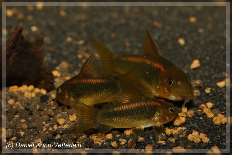 Corydoras sp. CW010 - Orangelinien-Metallpanzerwels 2