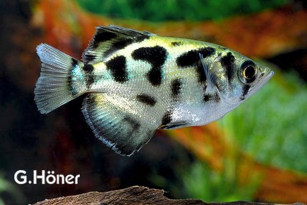 Leopardschützenfisch