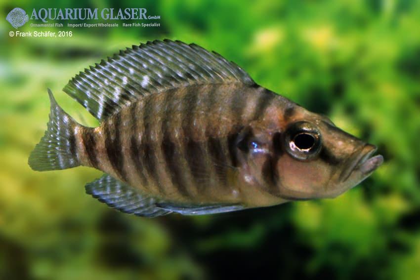 Altolamprologus calvus - Perlhuhncichlide 11