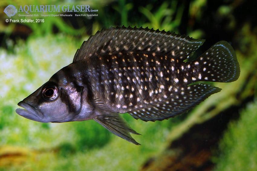 Altolamprologus calvus - Perlhuhncichlide 8
