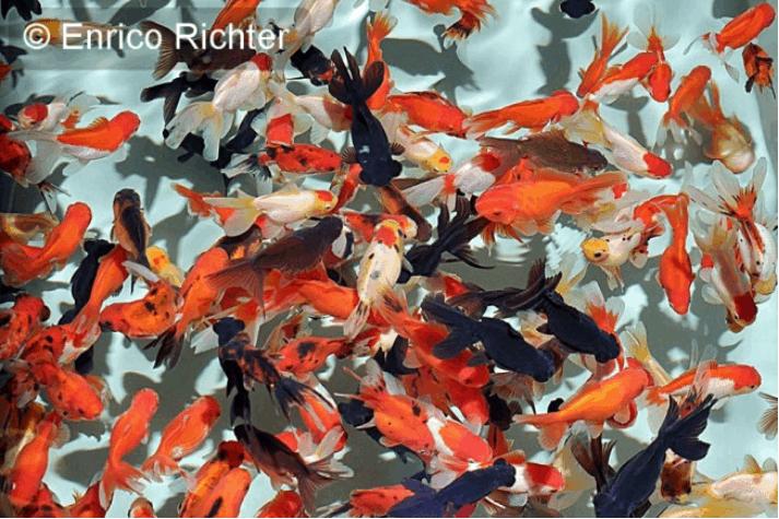 Carassius auratus - Goldfisch 6
