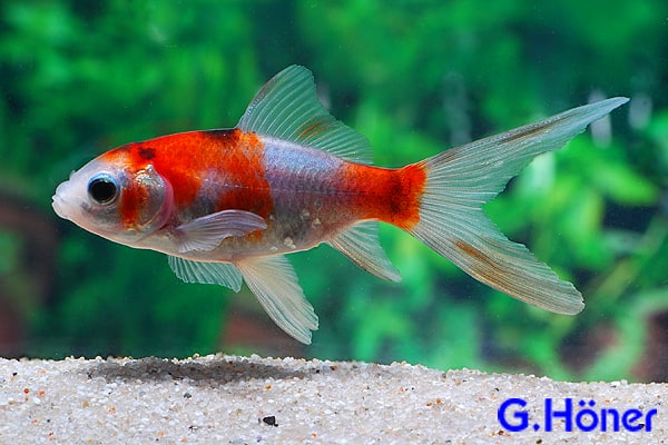 Carassius auratus goldfisch my fish for Shubunkin teich
