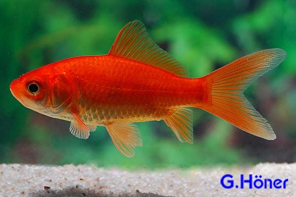 Gartenteichfische my fish for Gartenteichfische arten