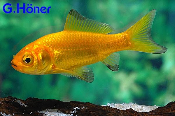 Carassius auratus goldfisch my fish for Goldfisch haltung im teich