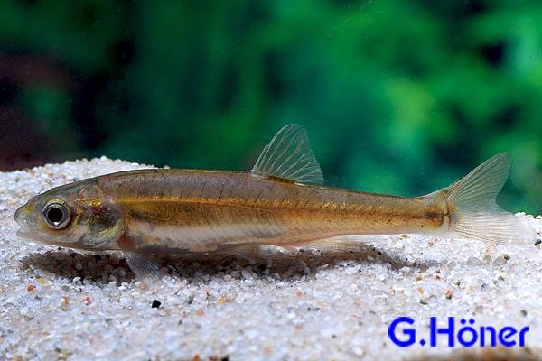 Phoxinus phoxinus elritze my fish for Elritzen im gartenteich