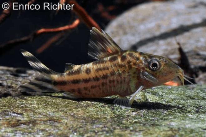 Corydoras robineae - Flaggenschwanz-Panzerwels 2