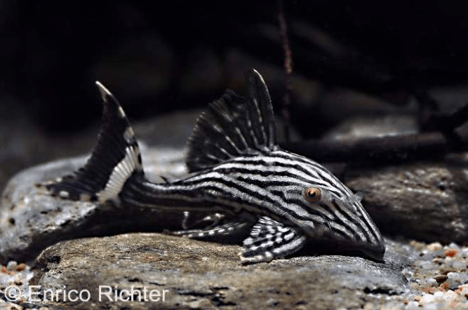 Panaque nigrolineatus (L190) - Royal Plecostomus 1