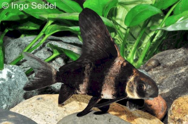 Myxocyprinus asiaticus wimpelkarpfen my fish for Robuste zierfische