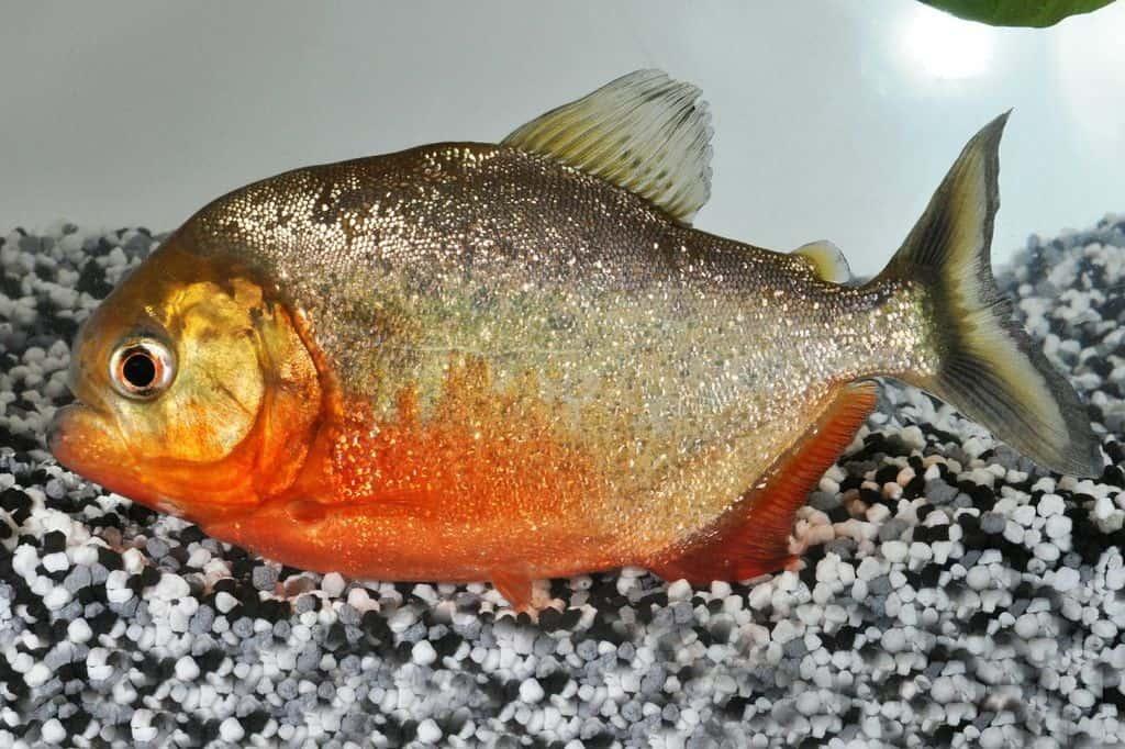 Pygocentrus nattereri - Roter Piranha 1