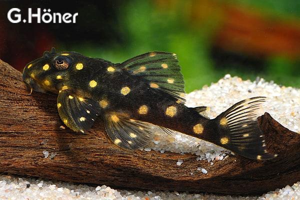 hypancistrus contradens wei goldpunkt hypancistrus my fish. Black Bedroom Furniture Sets. Home Design Ideas