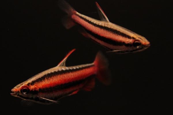 Nannostomus mortenthaleri - Purpur-Ziersalmler 4