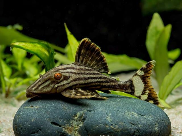 Panaque nigrolineatus (L190) - Royal Plecostomus 3