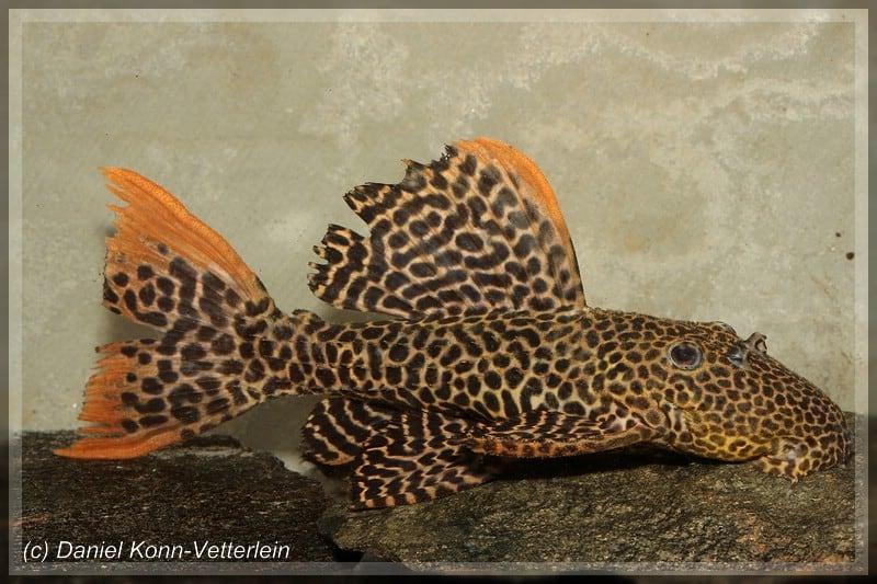 Pseudacanthicus cf. leopardus - Leopard-Kaktuswels 1