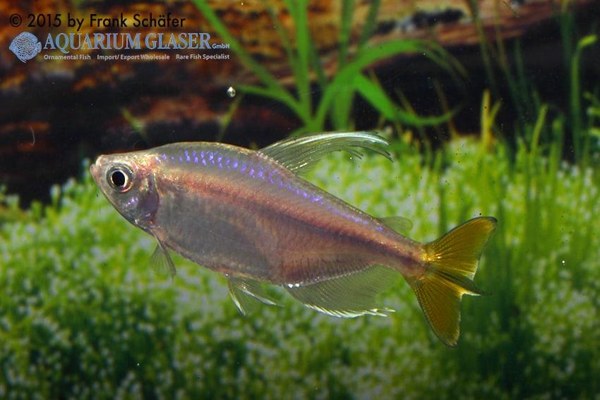 Alestopetersius caudalis - Gelber Kongosalmler 4