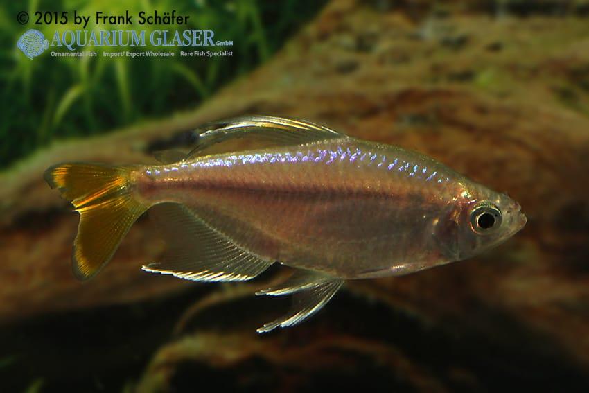 Alestopetersius caudalis - Gelber Kongosalmler 5