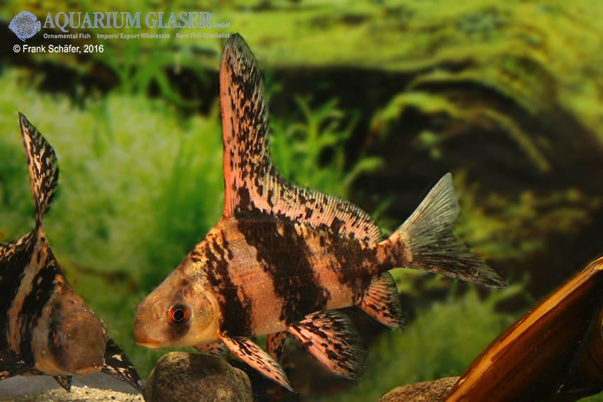 Myxocyprinus asiaticus - Wimpelkarpfen 9