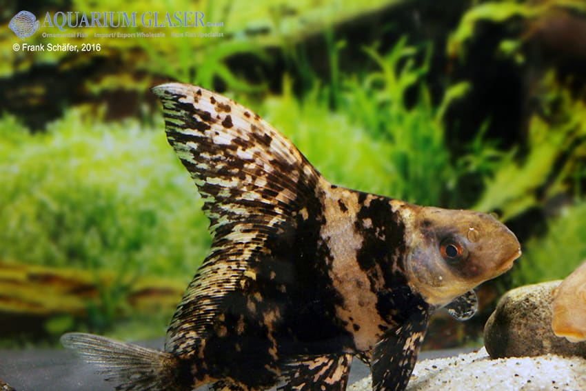 Myxocyprinus asiaticus - Wimpelkarpfen 11