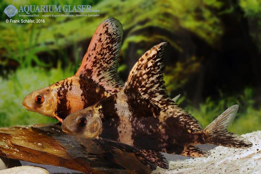 Myxocyprinus asiaticus - Wimpelkarpfen 12