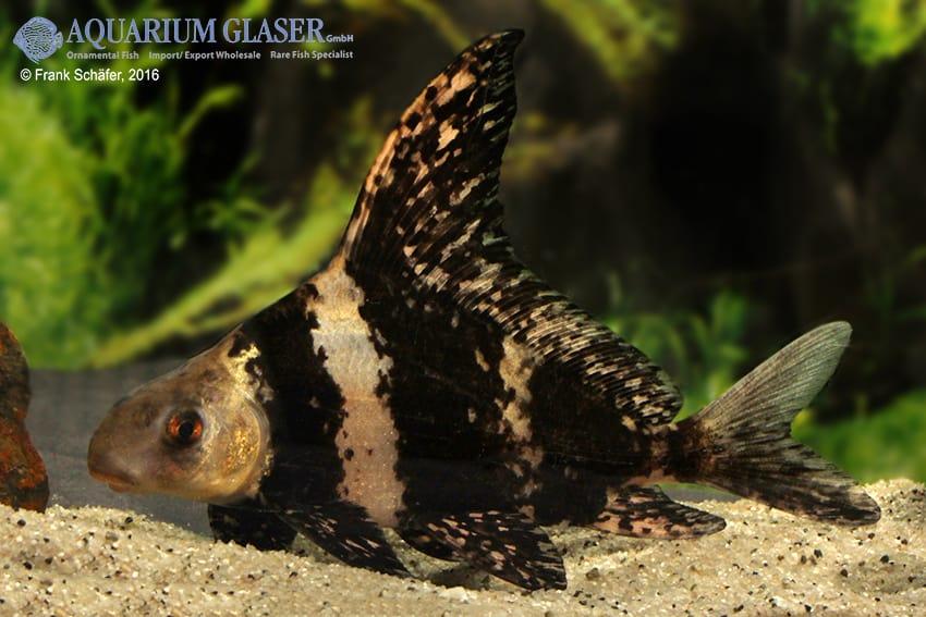 Myxocyprinus asiaticus - Wimpelkarpfen 15