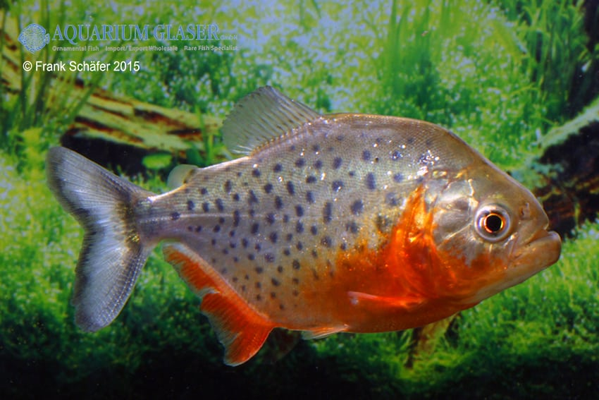 Pygocentrus nattereri - Roter Piranha 2